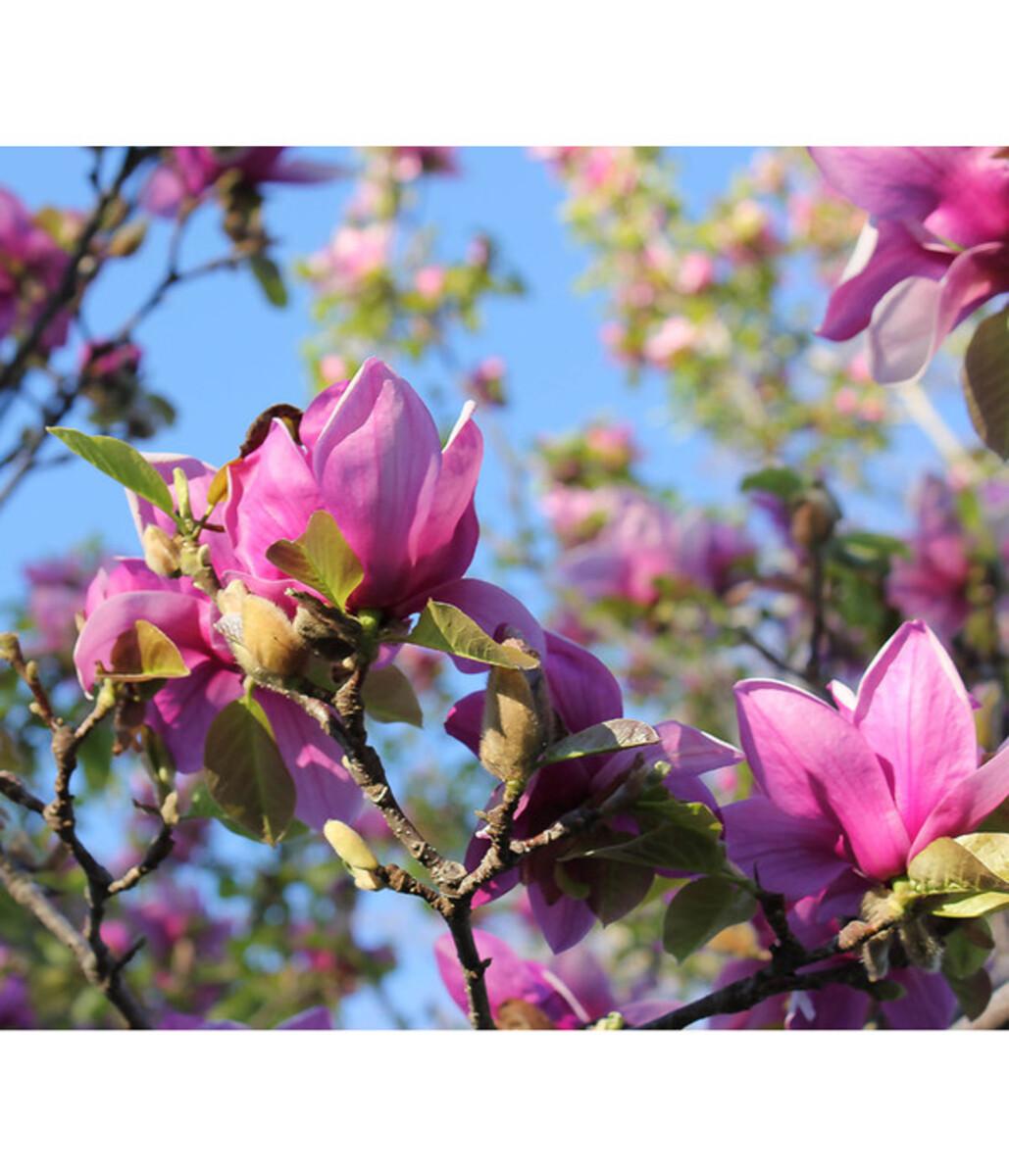 Bild 1 von Tulpen-Magnolie 'Genie'®