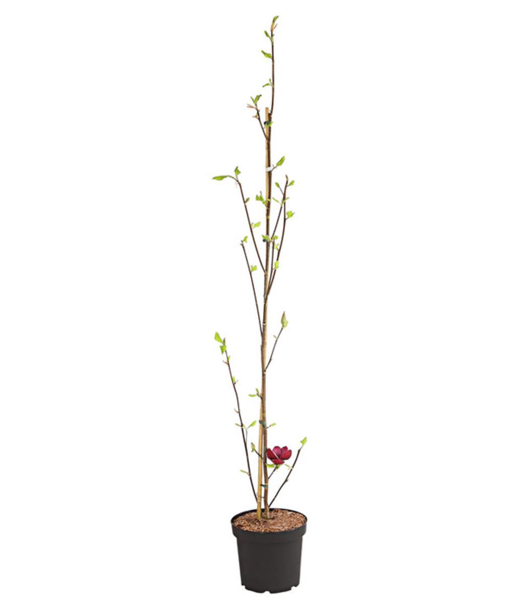 Bild 2 von Tulpen-Magnolie 'Genie'®