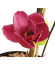 Bild 3 von Tulpen-Magnolie 'Genie'®