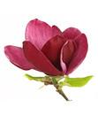 Bild 4 von Tulpen-Magnolie 'Genie'®