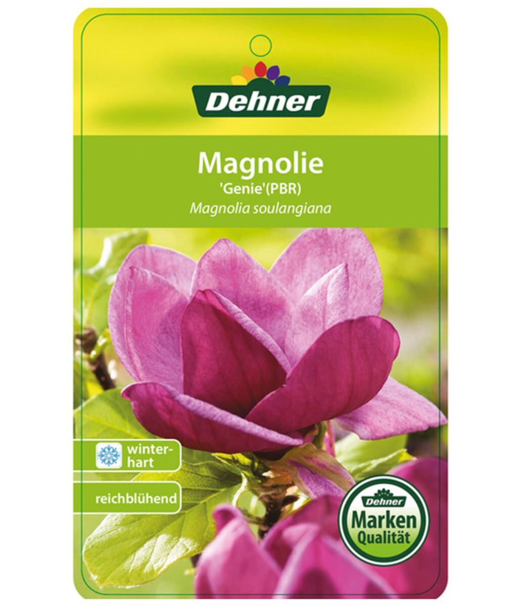 Bild 5 von Tulpen-Magnolie 'Genie'®