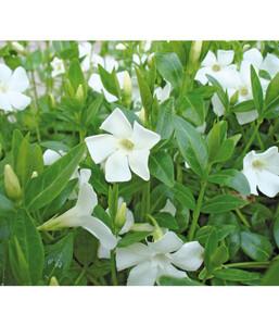 Vinca, Weißes Immergrün 'Alba'