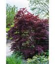 Bild 2 von Roter Fächer-Ahorn 'Atropurpureum'