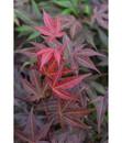 Bild 3 von Roter Fächer-Ahorn 'Atropurpureum'
