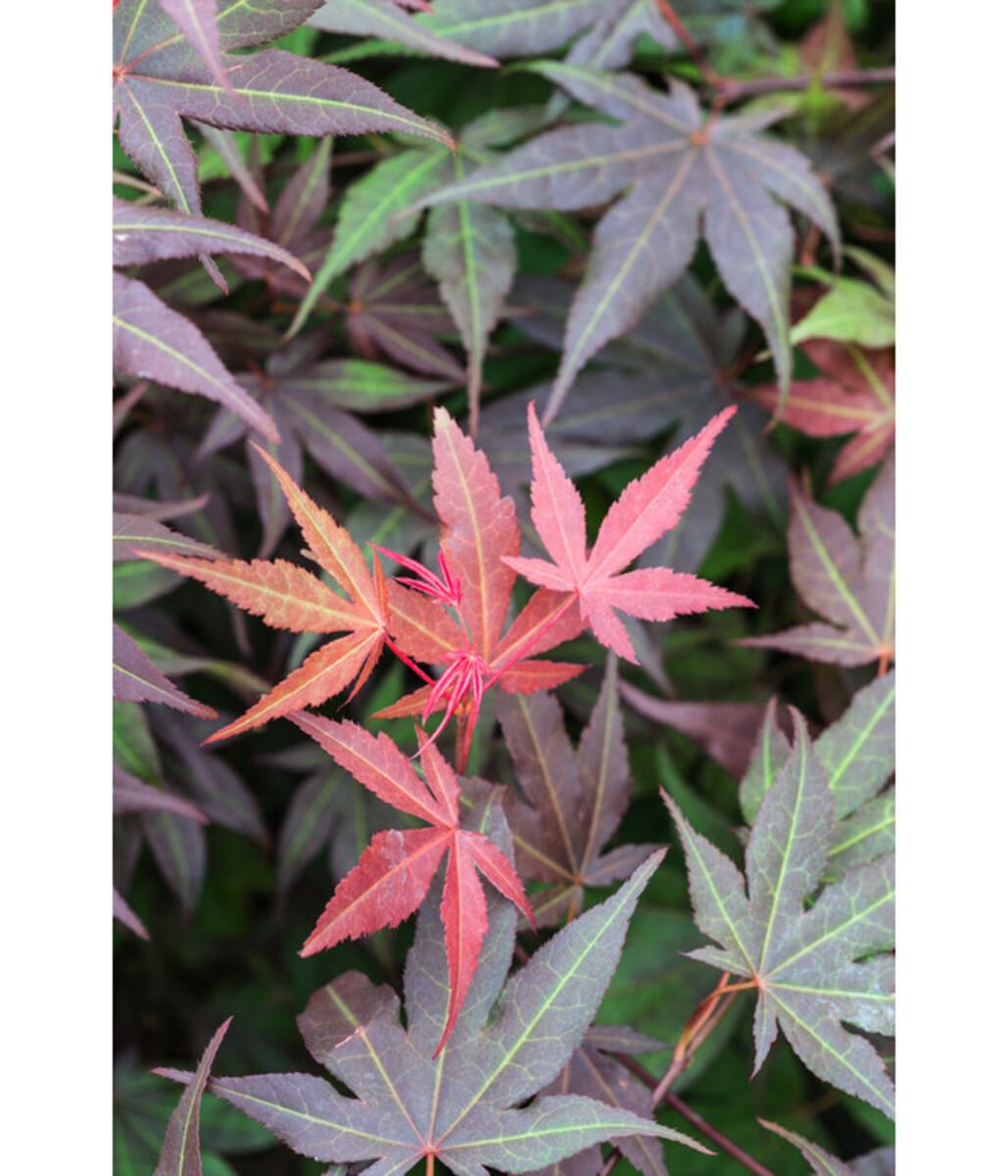 Bild 4 von Roter Fächer-Ahorn 'Atropurpureum'