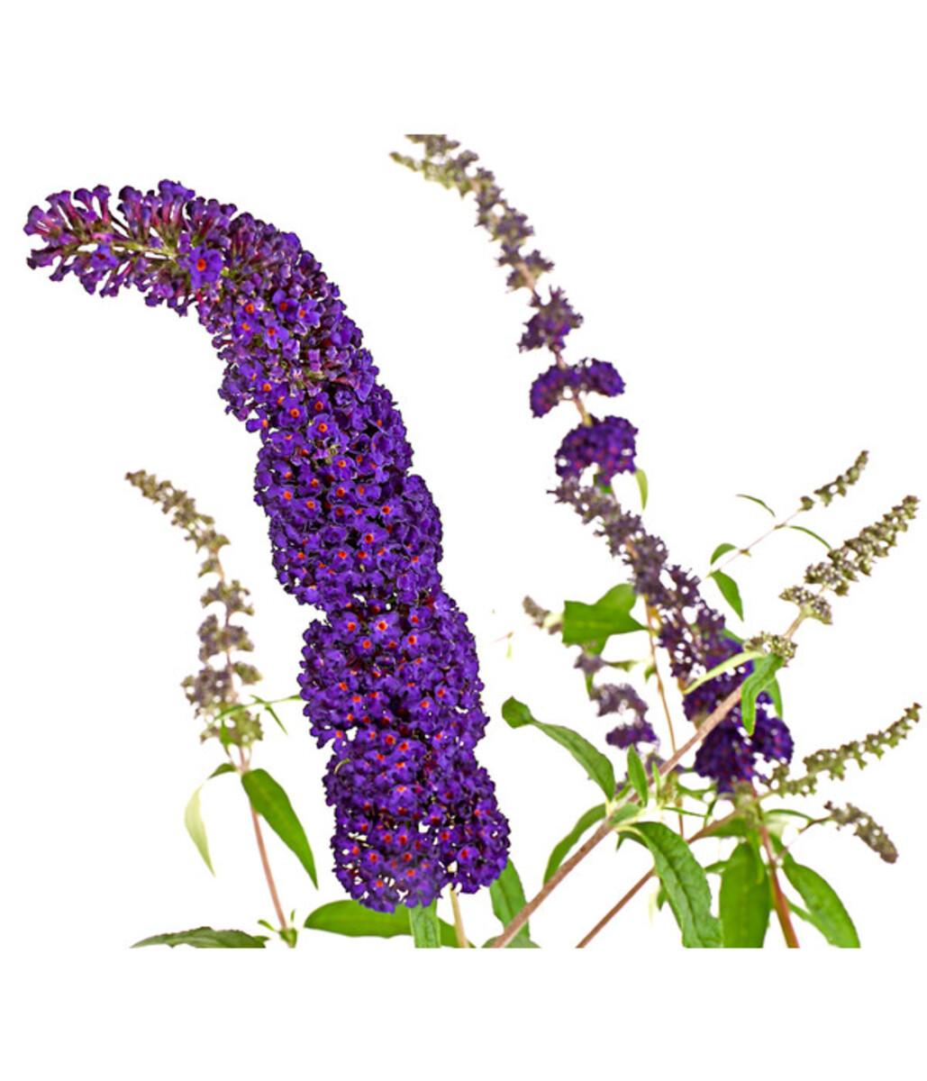 Bild 1 von Sommerflieder - Schmetterlingsstrauch, blau