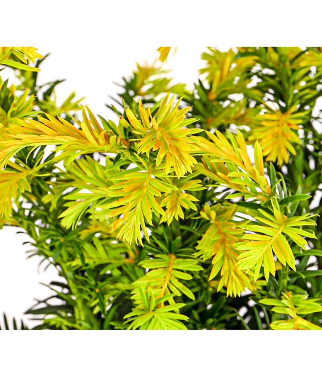 Bild 2 von Gelbe Eibe 'Cover Gold'