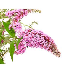 Sommerflieder 'Pink Delight'