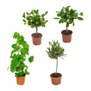 GARDEN FEELINGS     Mediterrane Gartenpflanze
