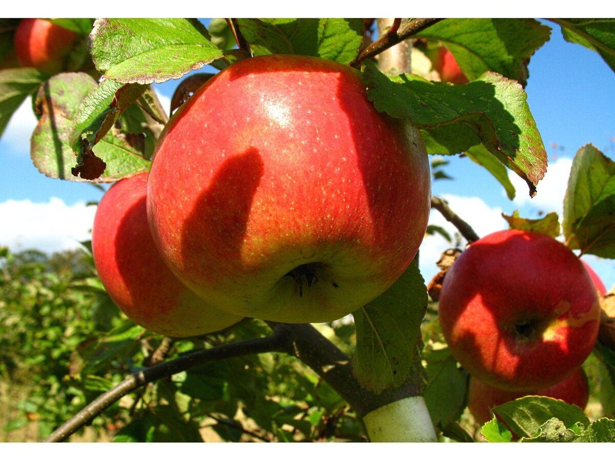 Bild 1 von Zwergapfelbaum »James Grieve«, 1 Spindel, 1,8 - 2 Meter Wuchshöhe, süß-säuerlich