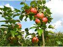 Bild 3 von Zwergapfelbaum »James Grieve«, 1 Spindel, 1,8 - 2 Meter Wuchshöhe, süß-säuerlich