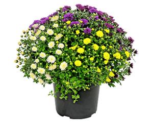 GARDENLINE®  Chrysanthemen-Busch