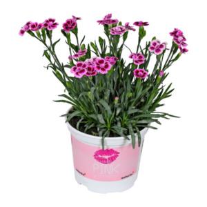"GARDEN FEELINGS     Dianthus ""Pink Kisses"""