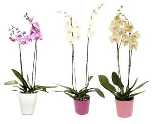 GARDENLINE®  Orchidee im Keramiktopf