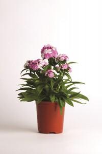 Bartnelke ,  Dianthus barbatus, 13 cm Topf