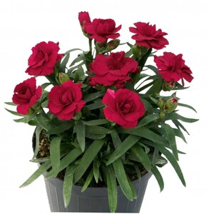 Nelke Colores ,  Dianthus, 12 cm Topf