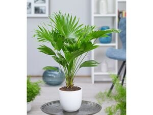 Palme 'Livistona Rotundifolia' ca. 40 cm hoch,1 Pflanze