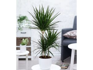 Dracena Marginata 100 cm hoch,1 Pflanze