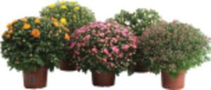 Chrysanthemen Busch
