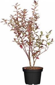Bio Heidelbeerenbusch 'Bluecrop' 19 cm Topf