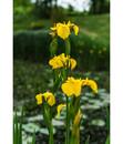 Bild 2 von Sumpf-Schwertlilie, gelb
