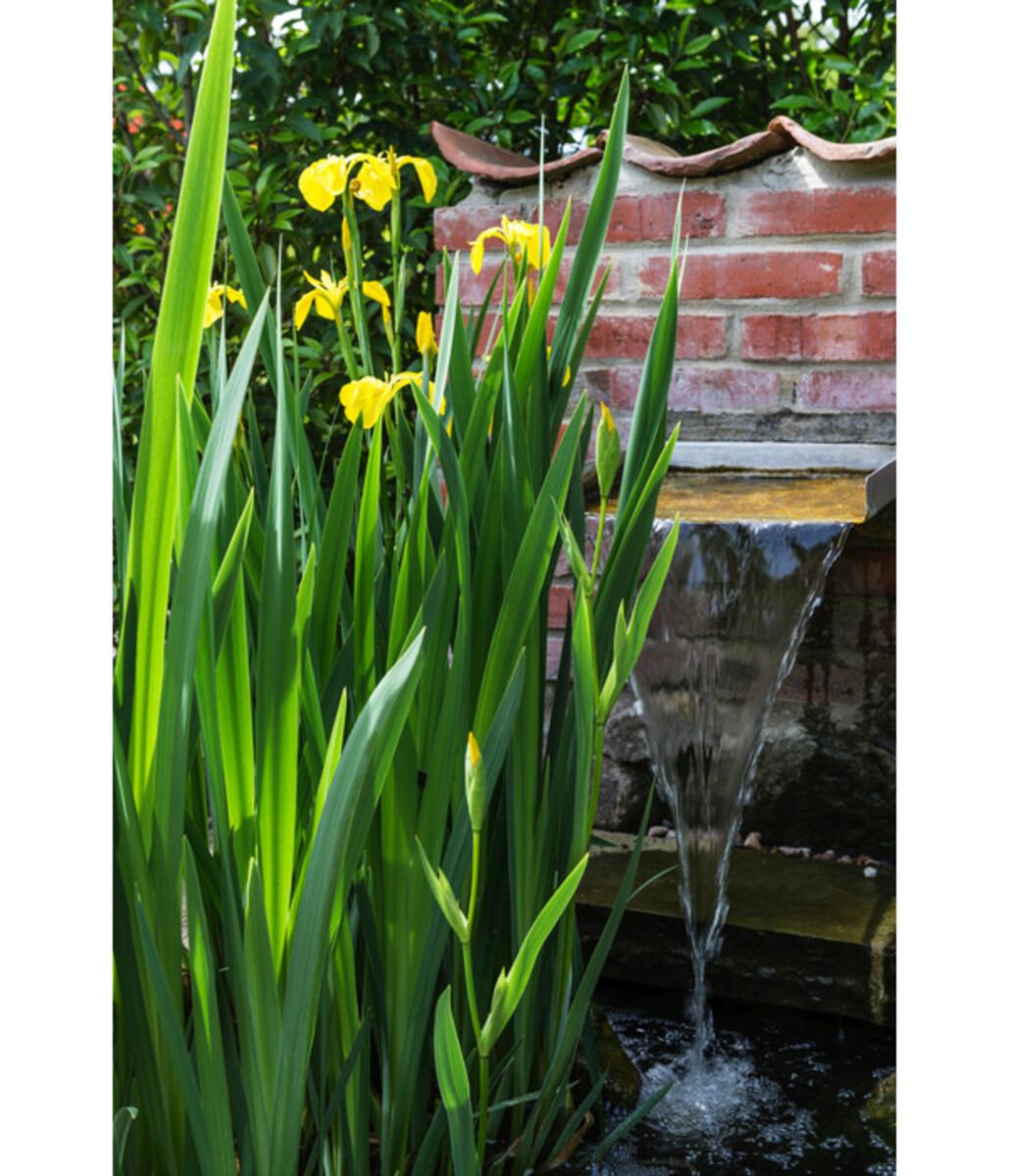 Bild 3 von Sumpf-Schwertlilie, gelb