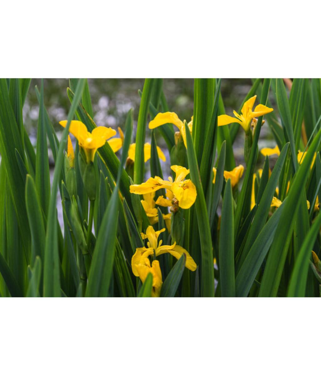Bild 4 von Sumpf-Schwertlilie, gelb