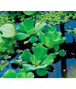 Bild 1 von Dehner Wassersalat - Muschelblume
