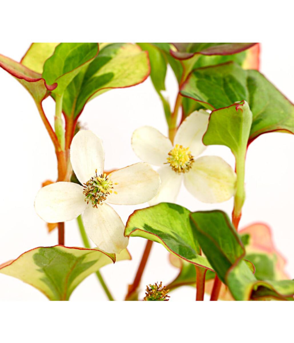 Bild 1 von Chamäleonpflanze - Buntblatt - Eidechsenschwanz