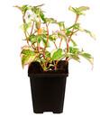 Bild 2 von Chamäleonpflanze - Buntblatt - Eidechsenschwanz