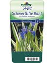 Bild 1 von Dehner Weißgestreifte Schwertlilie - Bleiche Schwertlilie 'Variegata'