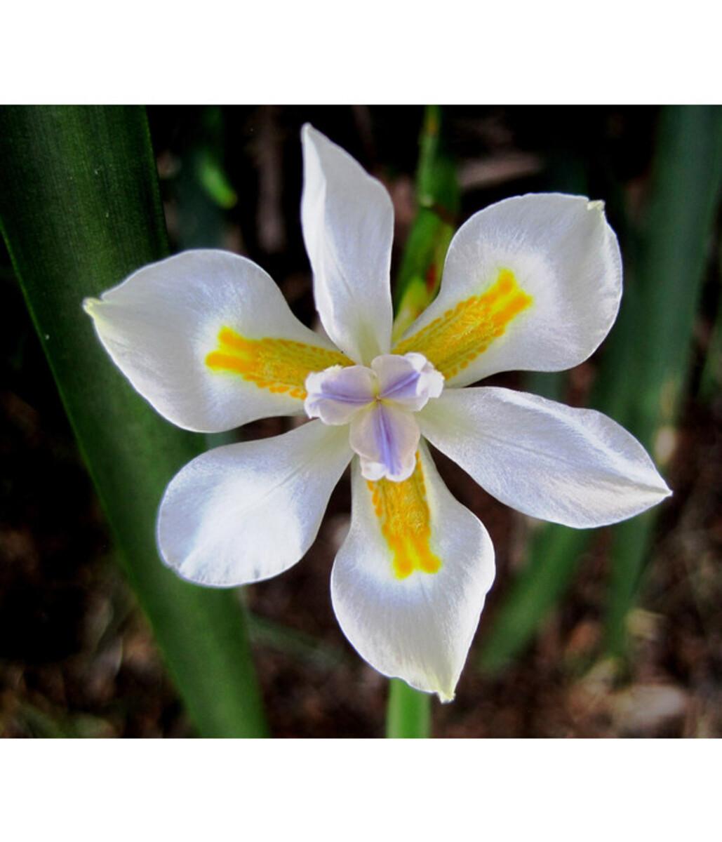 Bild 1 von Dehner Wasserschwertlilie