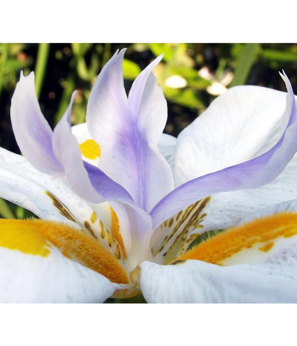 Bild 2 von Dehner Wasserschwertlilie