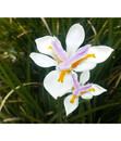 Bild 3 von Dehner Wasserschwertlilie