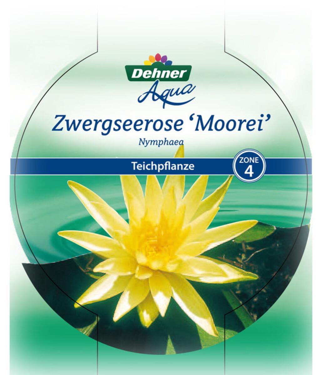Bild 2 von Dehner Zwerg-Seerose