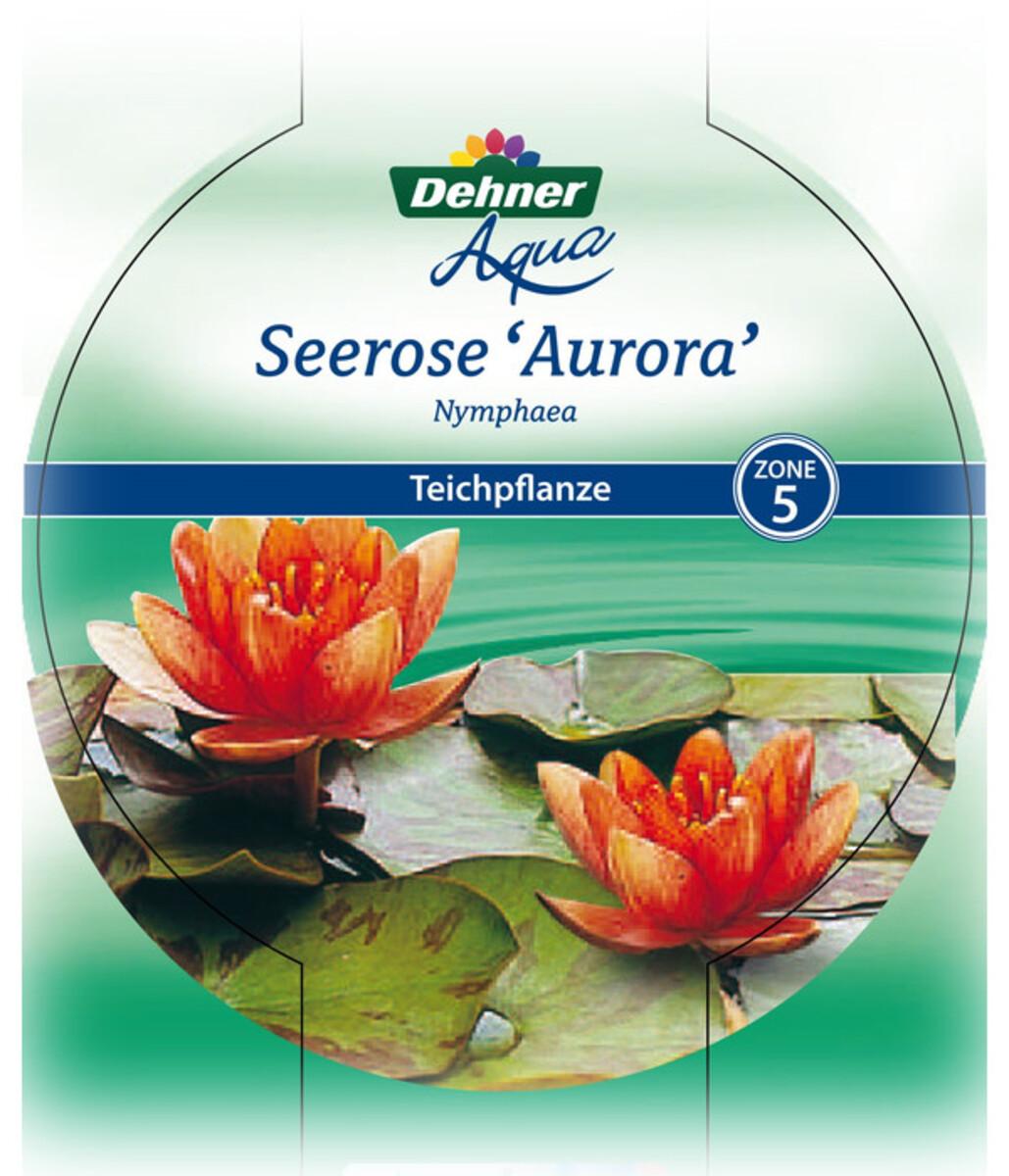 Bild 4 von Dehner Seerose 'Aurora'