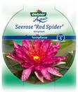 Bild 4 von Dehner Seerose 'Red Spider'