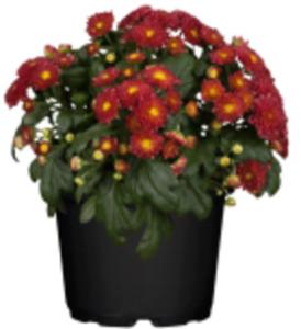 Chrysanthemen Gardenmums