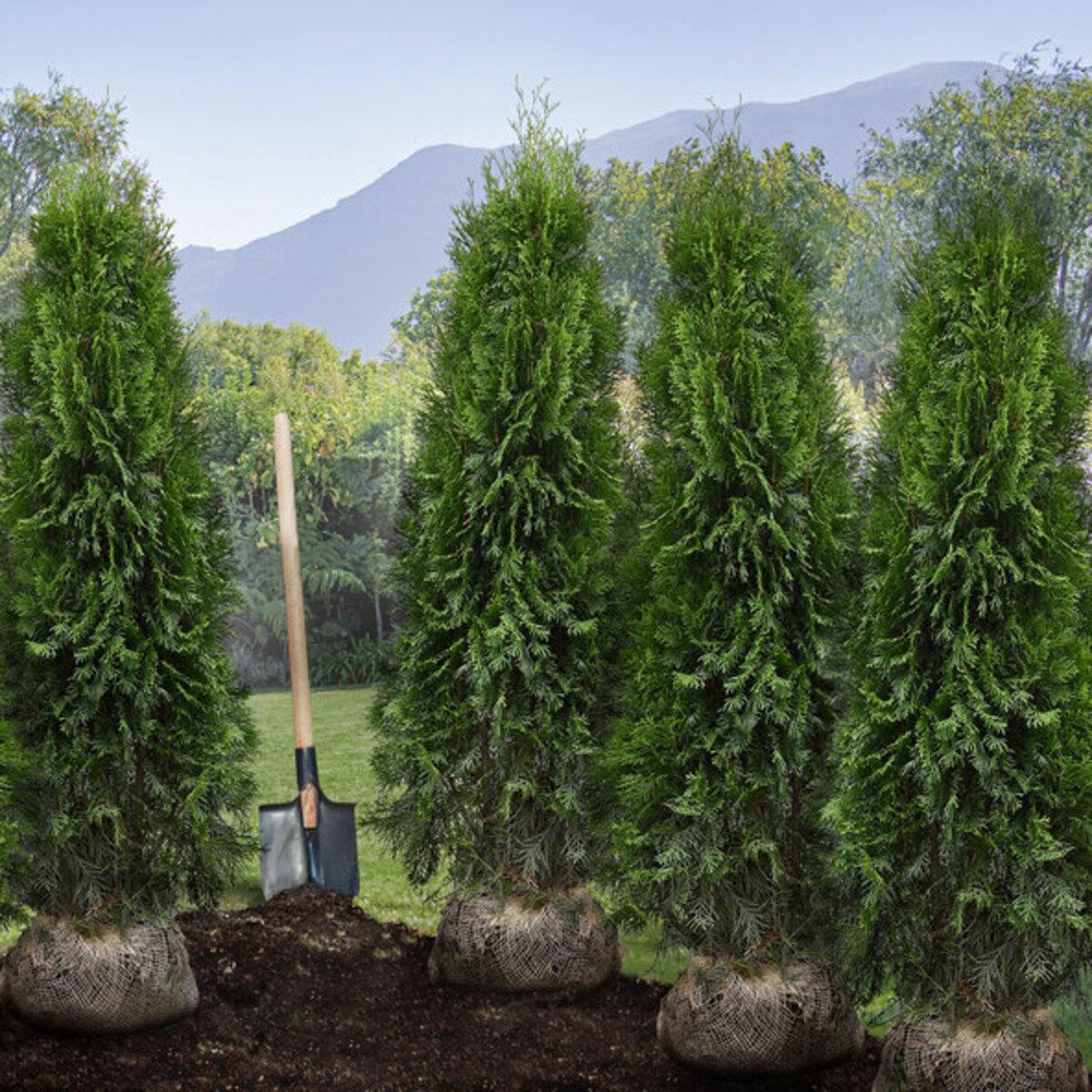 """Bild 1 von Lebensbäume Thuja """"Smaragd"""", 80–100 cm, 40 Stk."""
