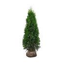 """Bild 2 von Lebensbäume Thuja """"Smaragd"""", 80–100 cm, 40 Stk."""