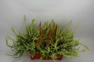 Balkonkasten herbstlich bepflanzt ,  Länge 25 cm