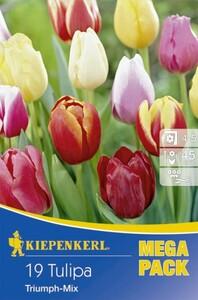 Kiepenkerl Blumenzwiebel Mega-Pack Triumph-Mix Tulipa x Hybrida, Inhalt: 19 Stück