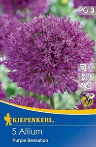 Kiepenkerl Herbstblumenzwiebel Allium Purple Sensation ,  Allium aflatunense, Inhalt: 5 Stück