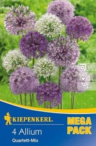 Kiepenkerl Herbstblumenzwiebel Allium Quartett-Mix Allium x Hybrida, Inhalt: 4 Stück