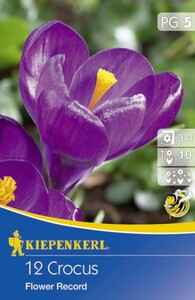 Kiepenkerl Blumenzwiebel Crocus Flower Record ,  Crocus vernus, Inhalt: 12 Stück