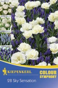 Kiepenkerl Blumenzwiebeln Colour Symphony Sky Sensation Inhalt: 28 Stück