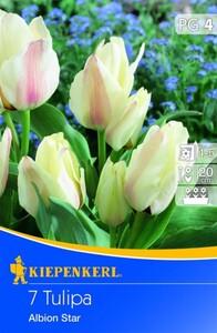 Kiepenkerl Blumenzwiebel Tulpe Albion Star ,  Tulipa greigii, Inhalt: 7 Stück