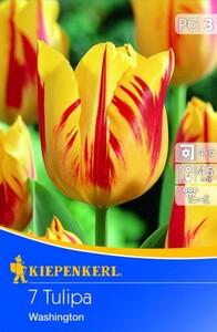 Kiepenkerl Blumenzwiebel Tulpe Washington ,  Tulipa x Hybrida, Inhalt: 7 Stück