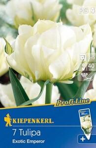 Kiepenkerl Herbstblumenzwiebel Tulpen Exotic Emperor ,  Tulipa fosteriana, Inhalt: 7 Stück