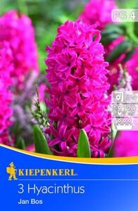 Kiepenkerl Blumenzwiebel Hyacinthe Jan Bos ,  Hyacinthus orientalis, Inhalt: 3 Stück